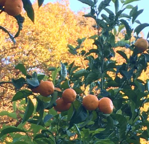 Mandarinen 1 (1)